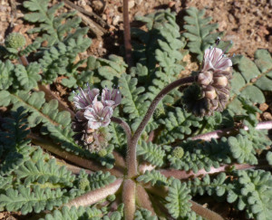 Arizona Scorpion Weed