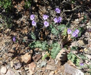 Blue Scorpion Weed