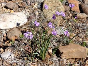 Blue Dicks or Wild Hyacinth