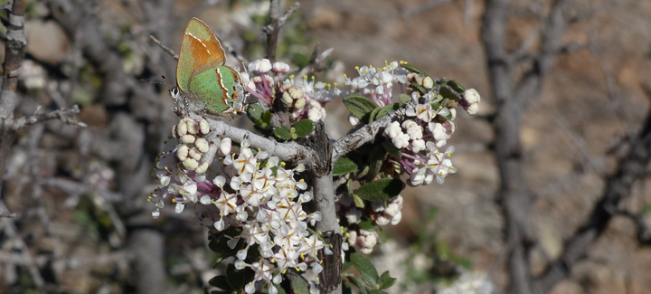 Desert Buckthorn and Juniper Hairstreak Butterfly