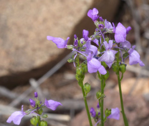 Texas Toad Flax