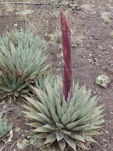 Parry's Agave in New Mexico