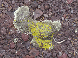 lichens in silver city area