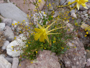 Golden Columbine