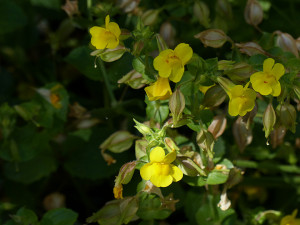 Spotted Monkeyflower
