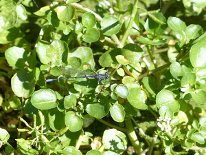 Watercress and damselfly