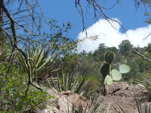 pancake prickly pear cactus