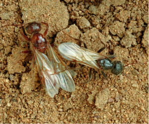 red and black harvester ants in New Mexico