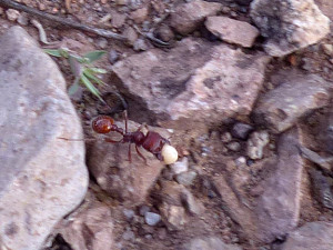 red harvester ants in New Mexico