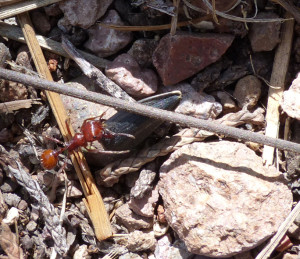 harvester ants