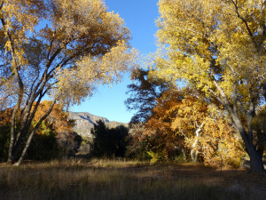 cottonwoods and sycamores in fall color