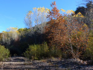 sycamores along the Gila River