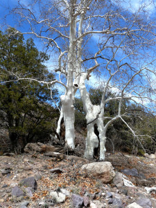 magnificant winter sycamore in New Mexico