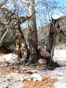 winter sycamore in Southwest New Mexico