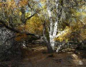 Velvet Ash in Southwest New Mexico