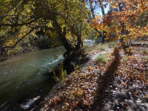 sycamores along the Gila River