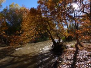 sycamores along Gila River