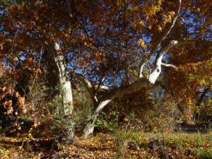 Sycamore in fall color along Gila River