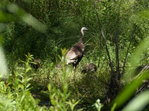 wild turkeys in the gila wilderness