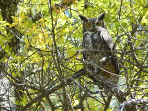 great horned owls in the gila wilderness