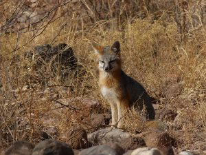 kit foxes in the gila wilderness