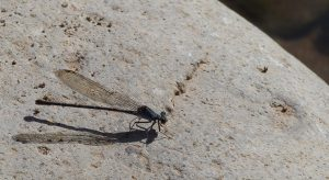 damselflies and dragonflies southwest new mexico