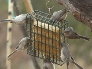 Bushtits on Suet Feeder