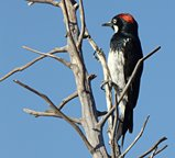 acorn woodpecker in New Mexico