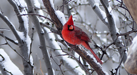 northern cardinal in new mexico