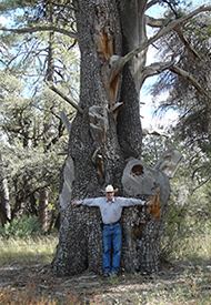 1000 year old juniper tree